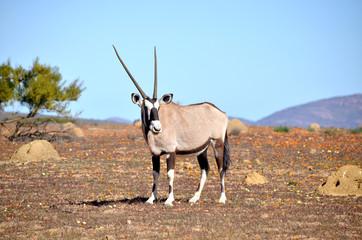 Poster Antelope oryx nel deserto fiorito