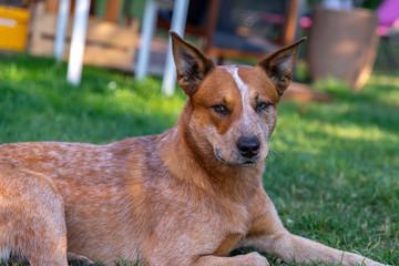 Plan rapproché sur la tête d'un chien Bouvier australien (en anglais Australian cattle dog) à la robe truité de rouge tranquille sur le gazon