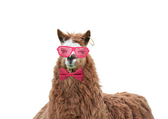 Wall Murals Lama Cool lama with pink glasses and pink bow in polka dots isolated on white background