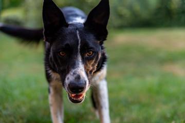Gros plan d'un chien de berger ou de troupeau, le border Collie le regard attentif, prêt à bondir, la bouche ouverte