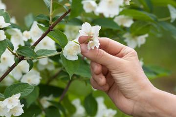 hand with jasmine flowers