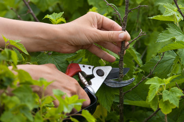 hands with secateurs pruning black currant