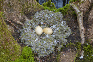 Close-up of Bird-Nest with Eggs from Greylag goose (Anser anser) on moss coverd tree trunks of balck alders, Hesse, Germany