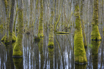 Black Alders (Alnus glutinosa) in Wetland, Early Spring, Hesse, Germany