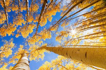 Sun shining through the aspen trees