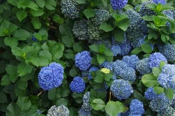 Hortensias bleus sous la pluie