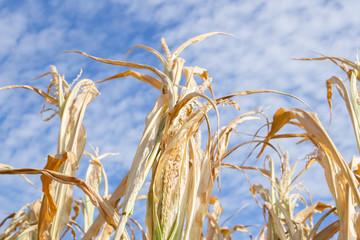 Dürre Duerre Trocken Mais 2018 Trockenpirode Sommer Hitze Bauern