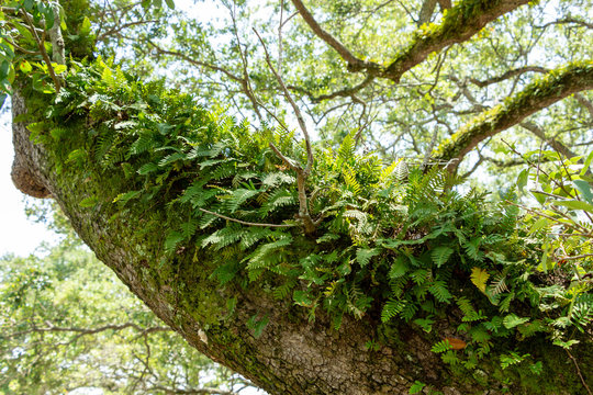 Resurrection fern (Pleopeltis polypodioides) growing on branch of a southern live oak tree (Quercus virginiana) - Topeekeegee Yugnee (TY) Park, Hollywood, Florida, USA