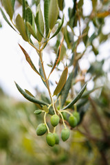 Green olive trees on farm