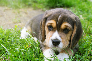 portrait of a beagle puppy lying in the grass closeup