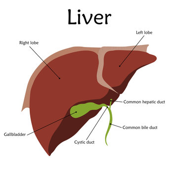 Human liver with a description. Anatomy vector flat illustration. White background.