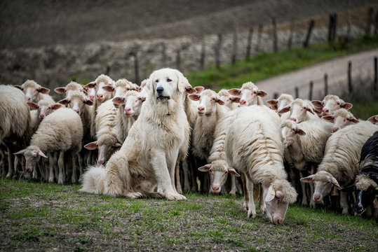 Shepherd dog guarding the sheep flock.