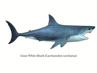 Great White Shark Side Profile with Font - The Great White shark is a large carnivore found in all ocean environments and can live to 70 years old.