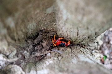 Land crab with bright red color. Photographed in a swamp on the island of Martinique. Natural colors and light.