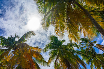 Coconut Palm trees against blue sky. Tropical and exotic landscape
