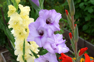 Close-up of a violet gladiolus flower on a flowerbed