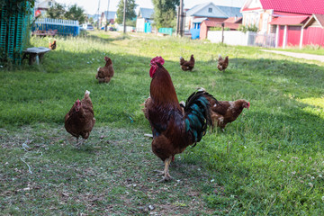 Cadres-photo bureau Poules chickens