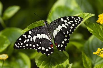 Papilio Xuthus 2