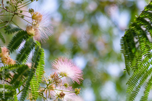 Close up of fluffy pink and white flowers on tree branches with tiny close up of fluffy pink and white flowers on tree branches with tiny leaves mightylinksfo