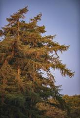 Fir trees in morning sunlight.