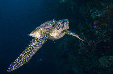 Sea turtle with remora