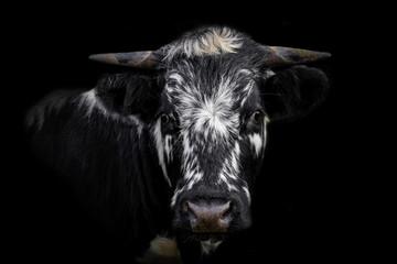 Kuh, Portrait einer Kuh, Rind