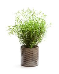 Rosemary  plant in the flower pot isolated on white background