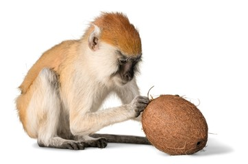 Monkey Trying To Get Into Coconut - Isolated