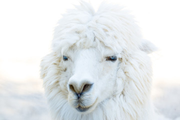 Portrait photo of Alpaca