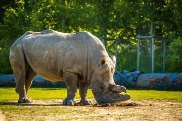 Big rhino in the zoo