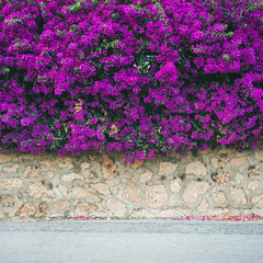 Stone wall covered with purple blooming Bougainvillea tree flowers. Typical Mediterranian outdoor street exterior in summer, square crop