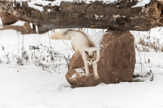 Red Marble Fox (Vulpes vulpes) Jumps Down Off Rock