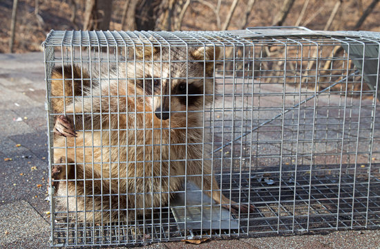Raccoon, Procyon lotor, Caught in a Trap