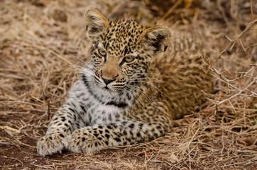 Leopard_Cub_Resting
