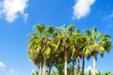 Several high green palm trees tops against the background of blue sky