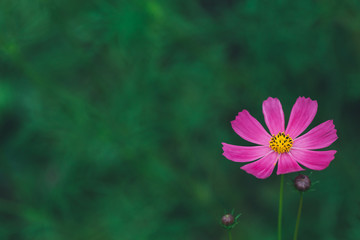 Pink or fuchsia summer flower petal on green background, copyspace