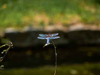 Broad-bodied Chaser dragonfly standing on a small branch