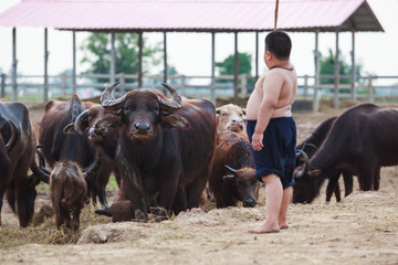 Thailand Rural Traditional Scene, buffaloes herd being tended by Thai farmer shepherd boy in the farm. Asian Thai Upcountry Culture, Living, Occupation concept.