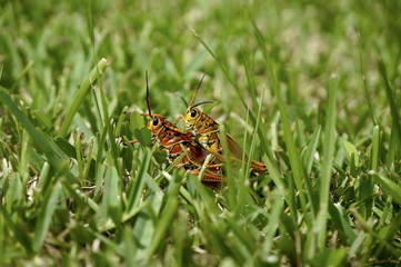 grasshoppers in the swamp