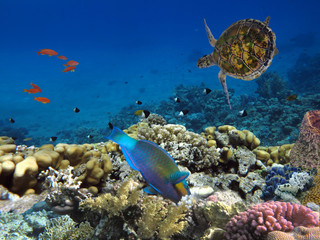 Hawksbill Sea Turtle underwater. Red Sea