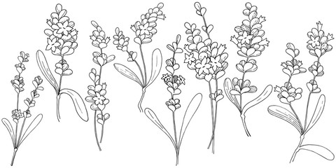 Vector lavender wildflower in a vector style isolated. Vector flower for background, texture, wrapper pattern, frame or border.