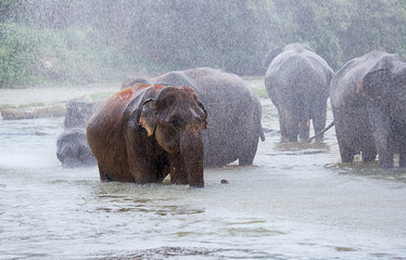 herd of elephants in the rain bathe in the river