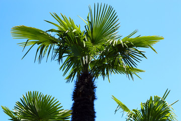 bottom view five  palms against the blue sky.