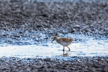 Young Redshank