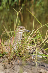 Water thick-knee bird hiding in the grass