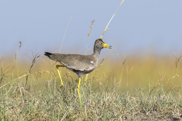African wattled lapwing walking on the african savannah