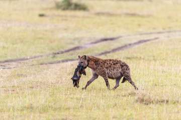 Hyena with a tracking collar carrying an prey on the savannah