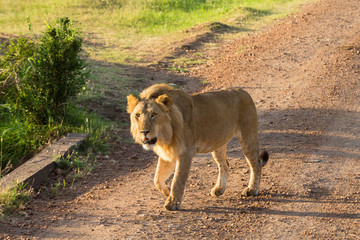 Male lion walking on a dirt road