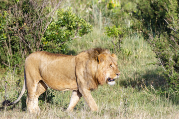 Walking big male Lion on the savannah