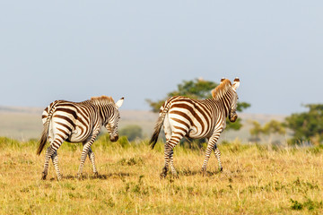 Savann landscape with two zebras